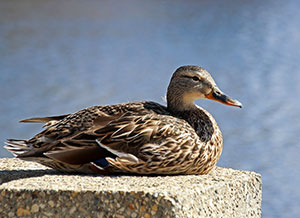 A female mallard makes use of the human-built world around her.